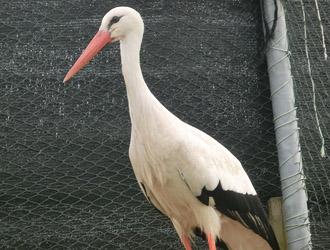 Cicogna bianca Cicogna bianca Allevamento Fornasier
