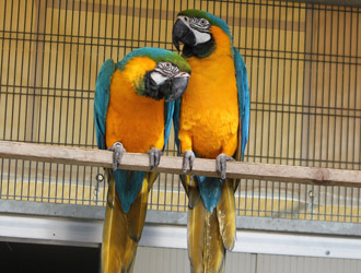 Pappagalli. Ara giallo e blu Pappagalli. Ara giallo e blu Allevamento Fornasier